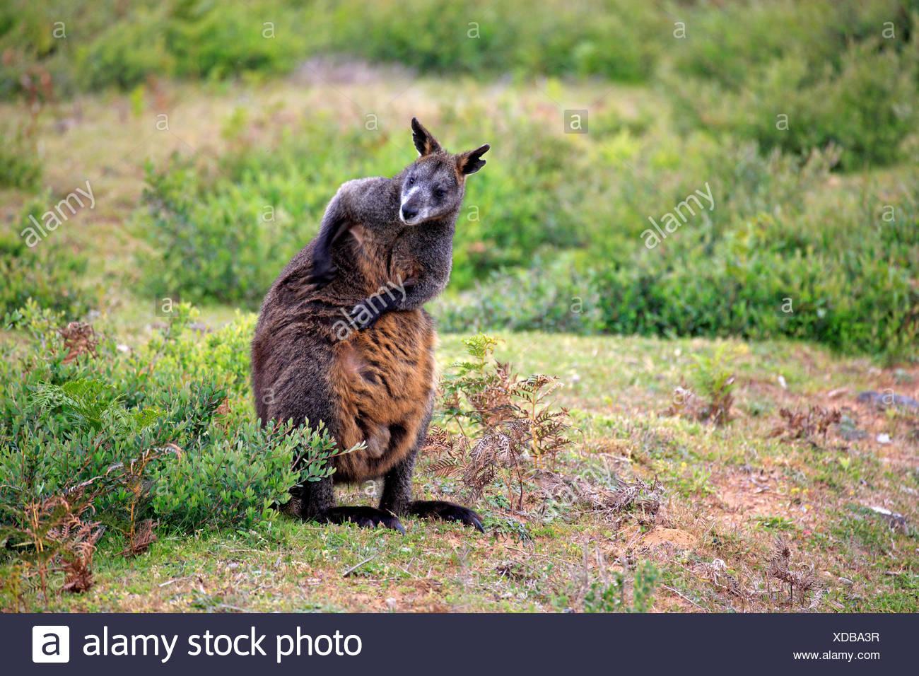 Swamp Wallaby, adult, Wilson Promontory Nationalpark, Victoria, Australia / (Wallabia bicolor) - Stock Image