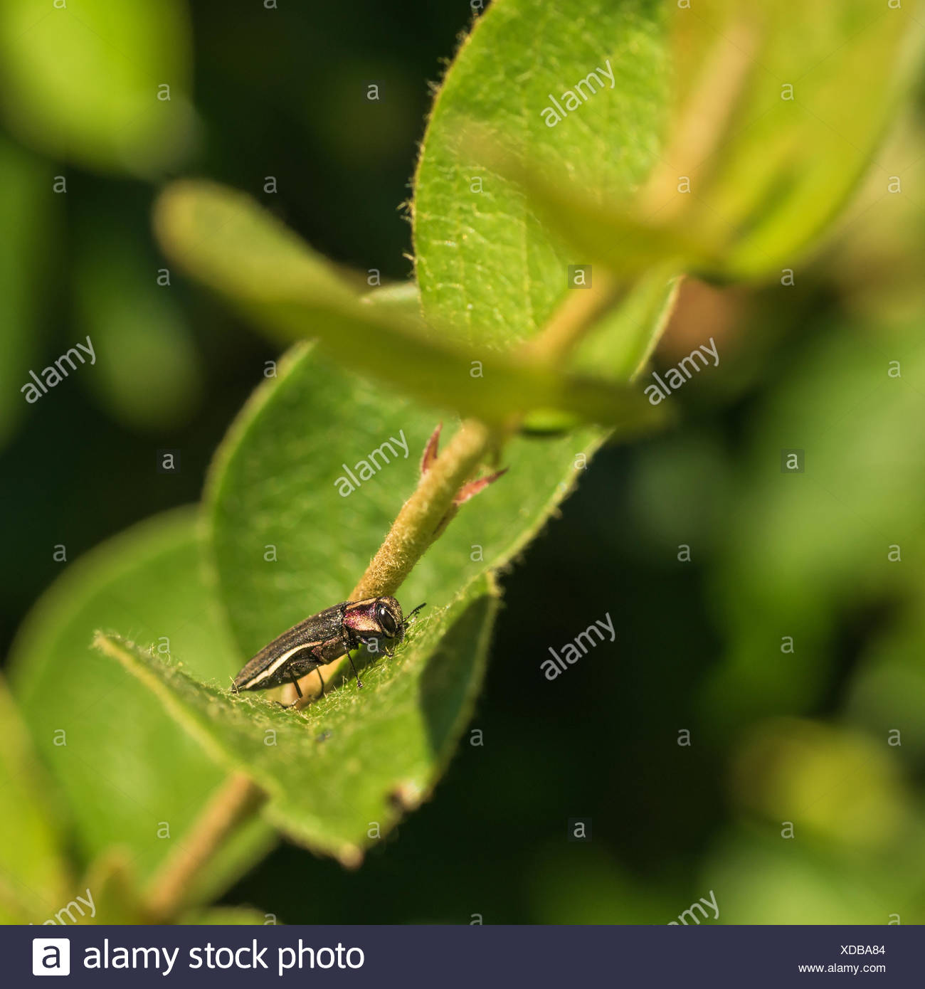 Hawthorn Root Borer - Stock Image