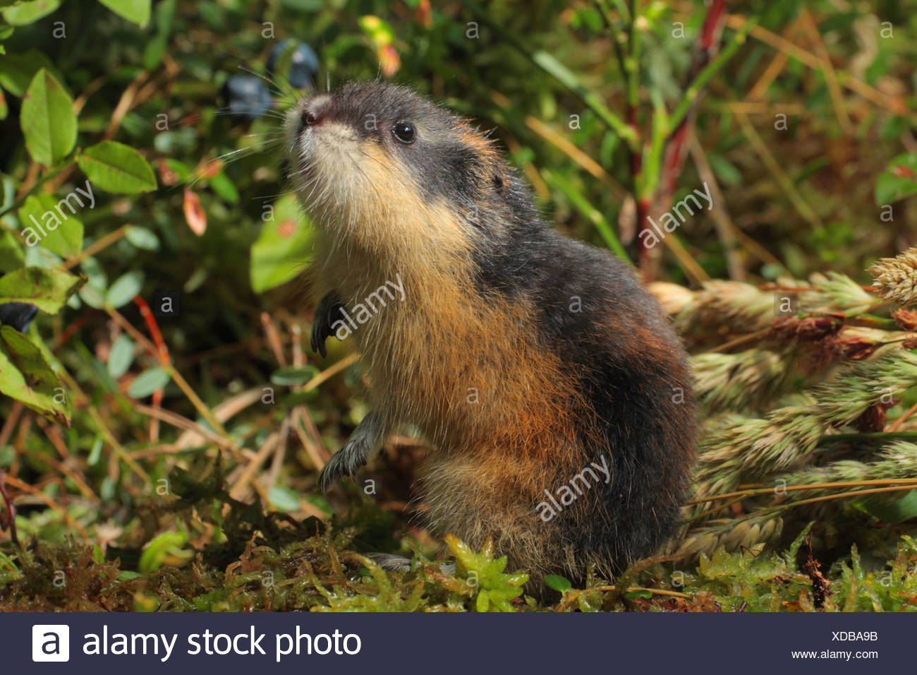 Norway lemming (Lemmus lemmus), upright, snuffing - Stock Image