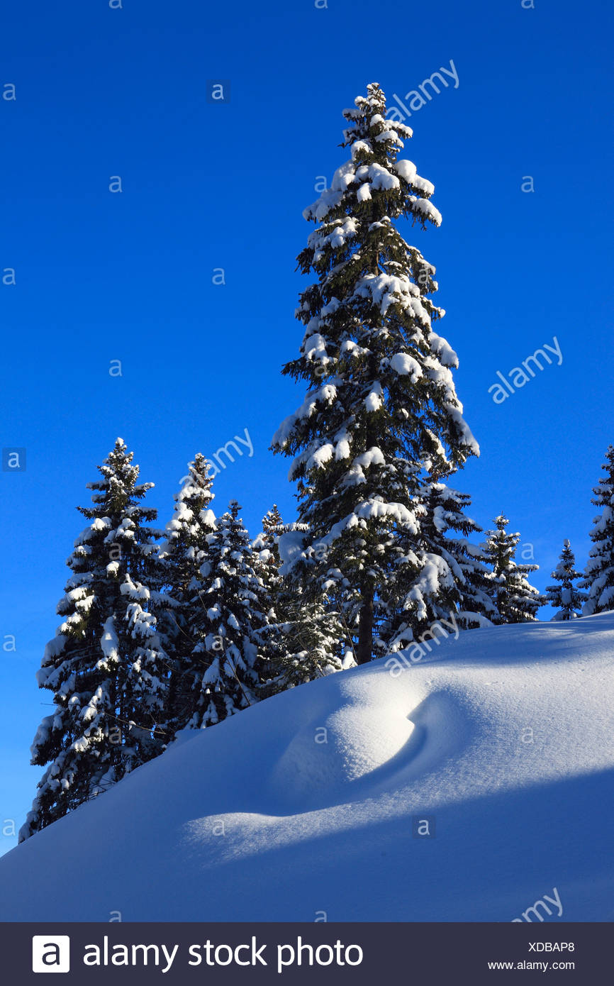 Norway spruce (Picea abies), snowy spruces with blue sky and sunshine, Switzerland - Stock Image