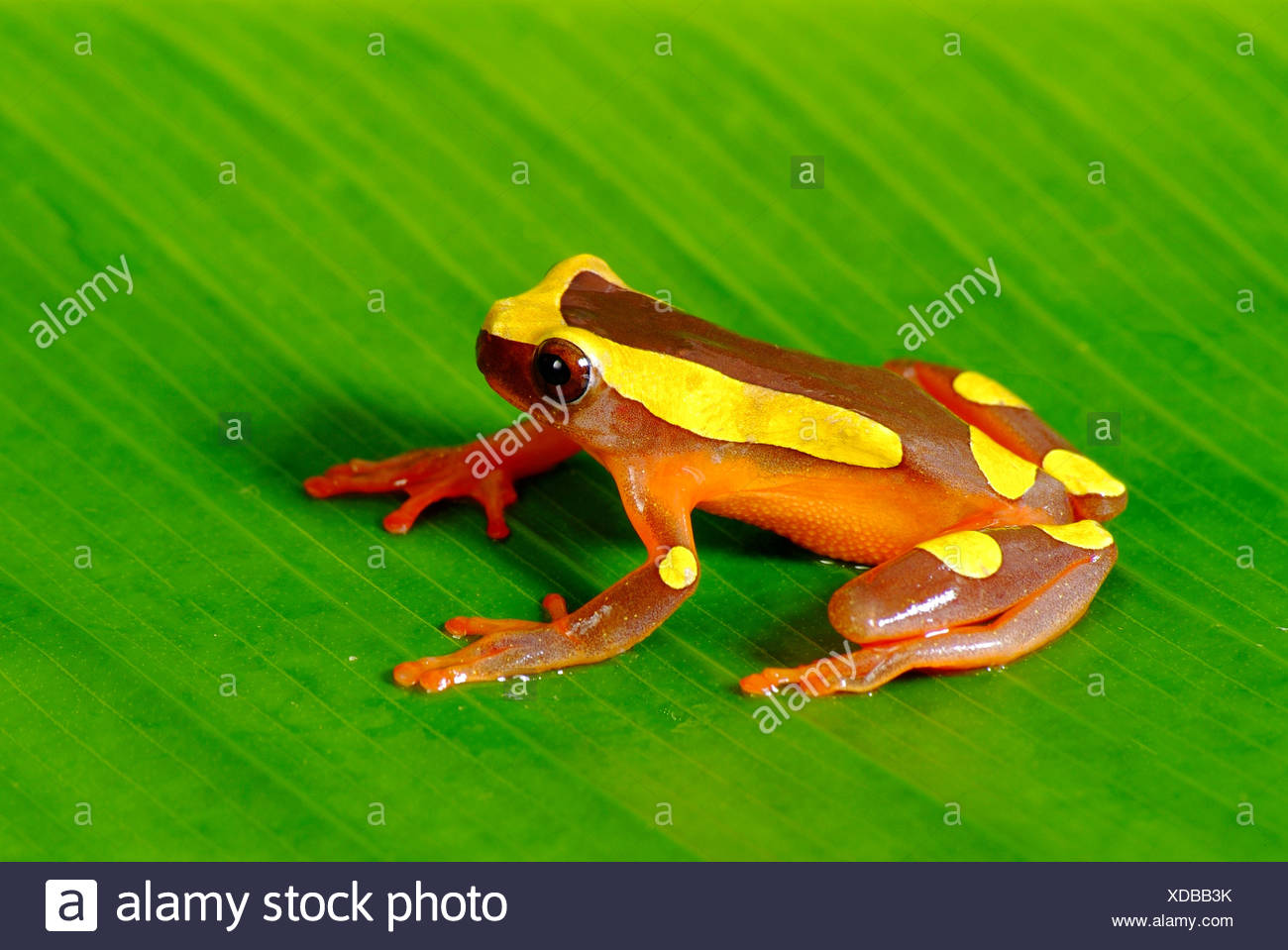 Dendropsophus bifurcus, Hylidae, 2009  23 to 27 mm lenght male - Stock Image