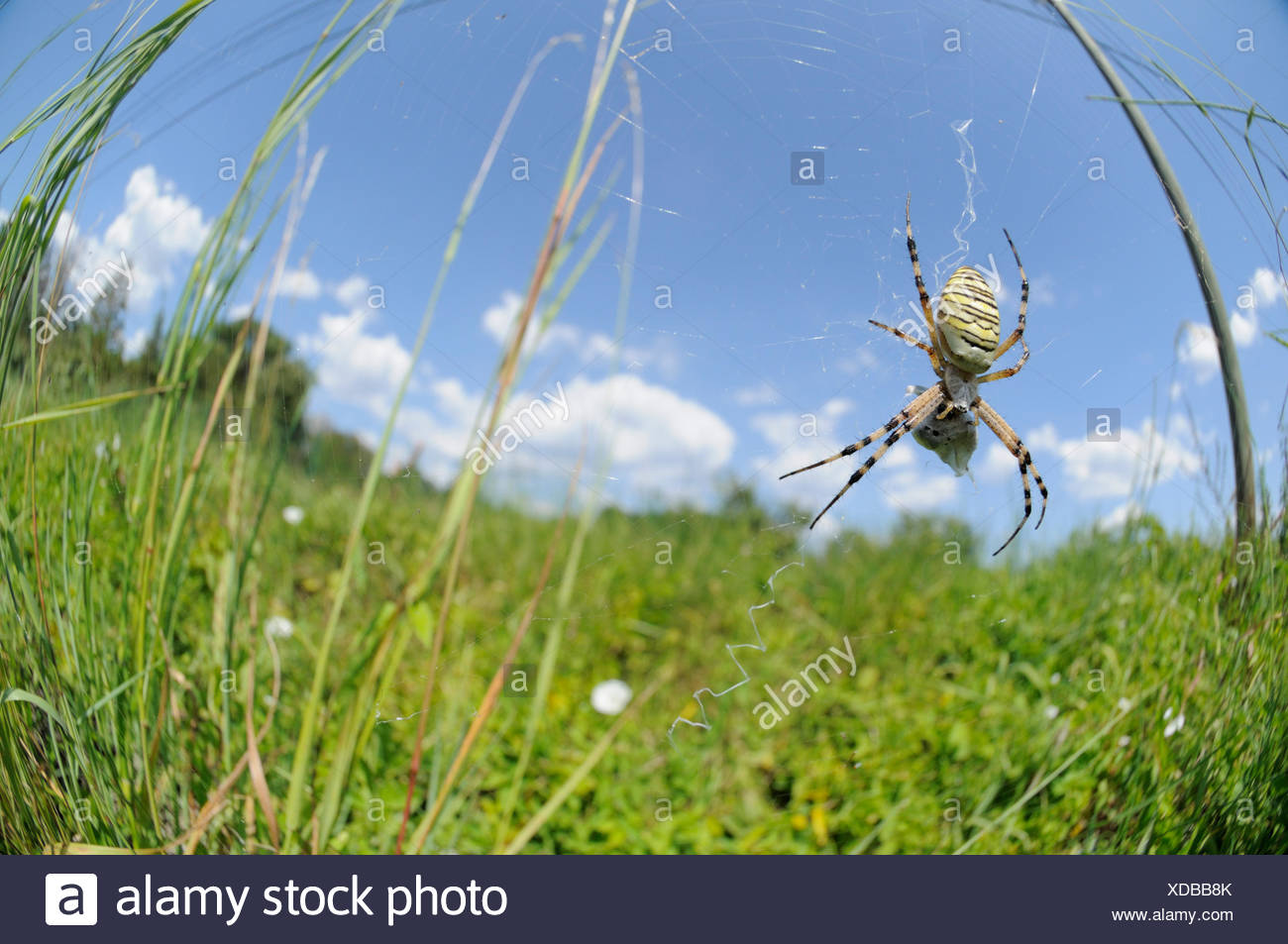 Wide angele capture of a Wasp Spider waiting on her web - Stock Image
