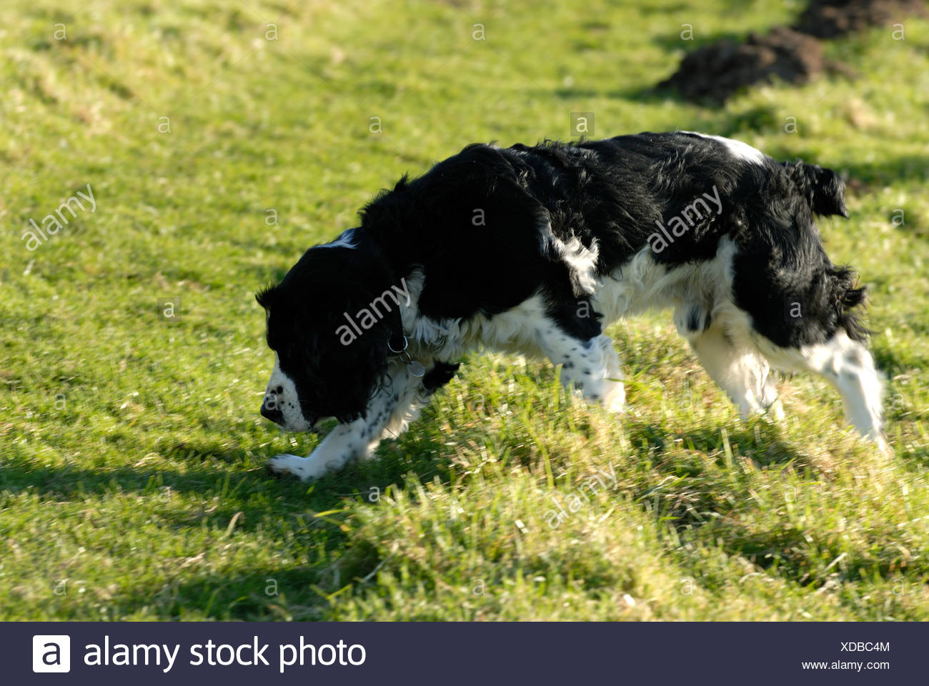 Black English springer spaniel dog following scent to spring game - Stock Image