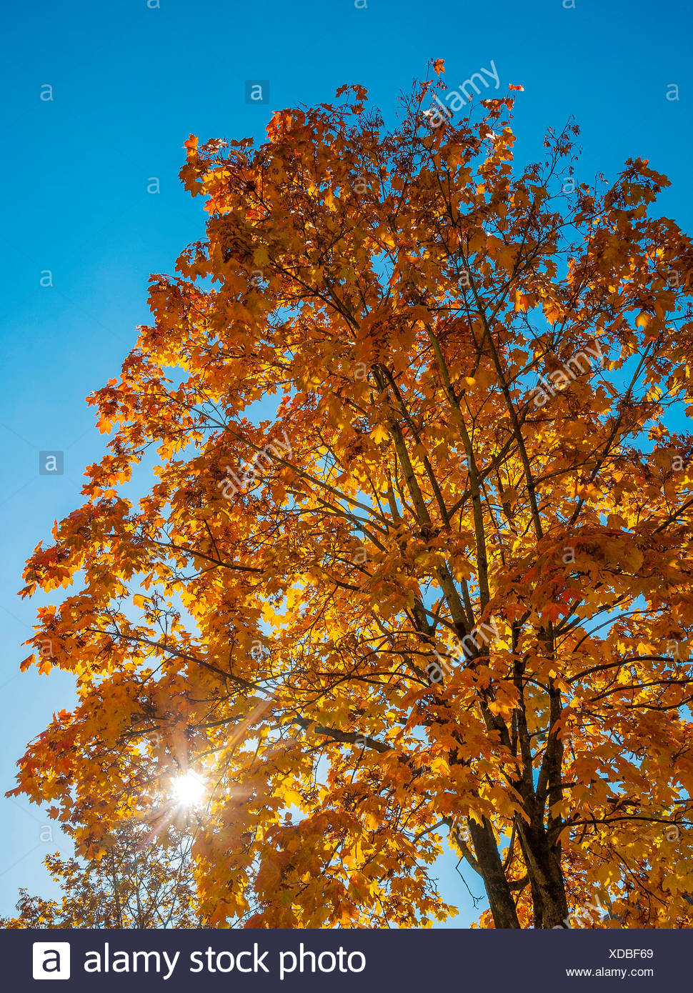 Autumn sun shining through yellow leaves, maple tree (Acer), Bavaria, Germany - Stock Image