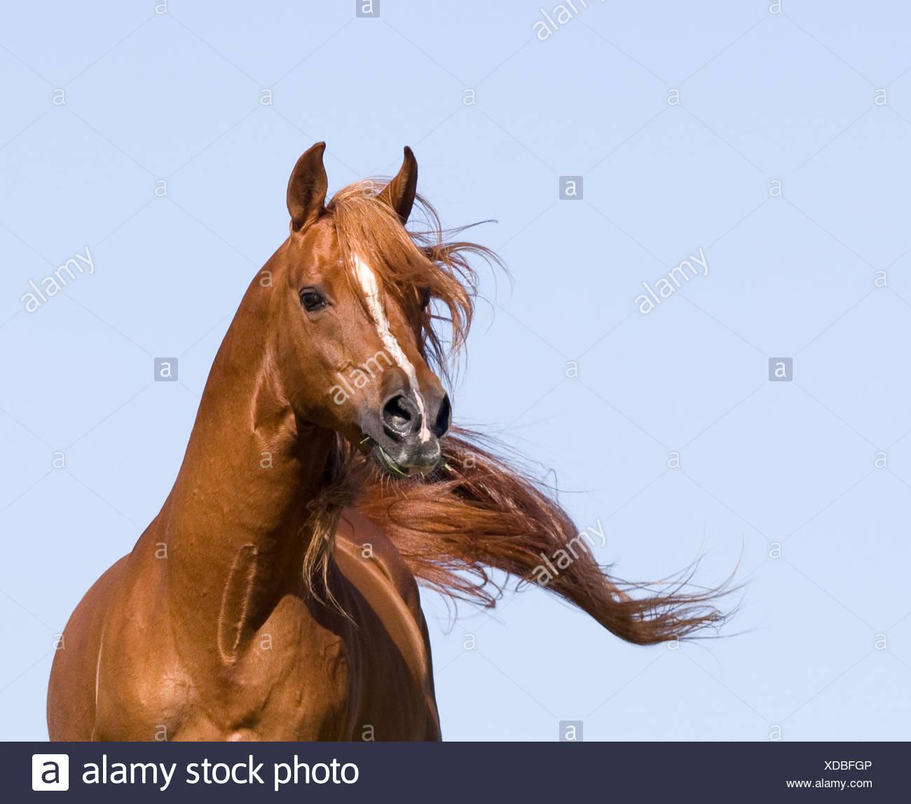 Chestnut arabian stallion running, California, USA - Stock Image