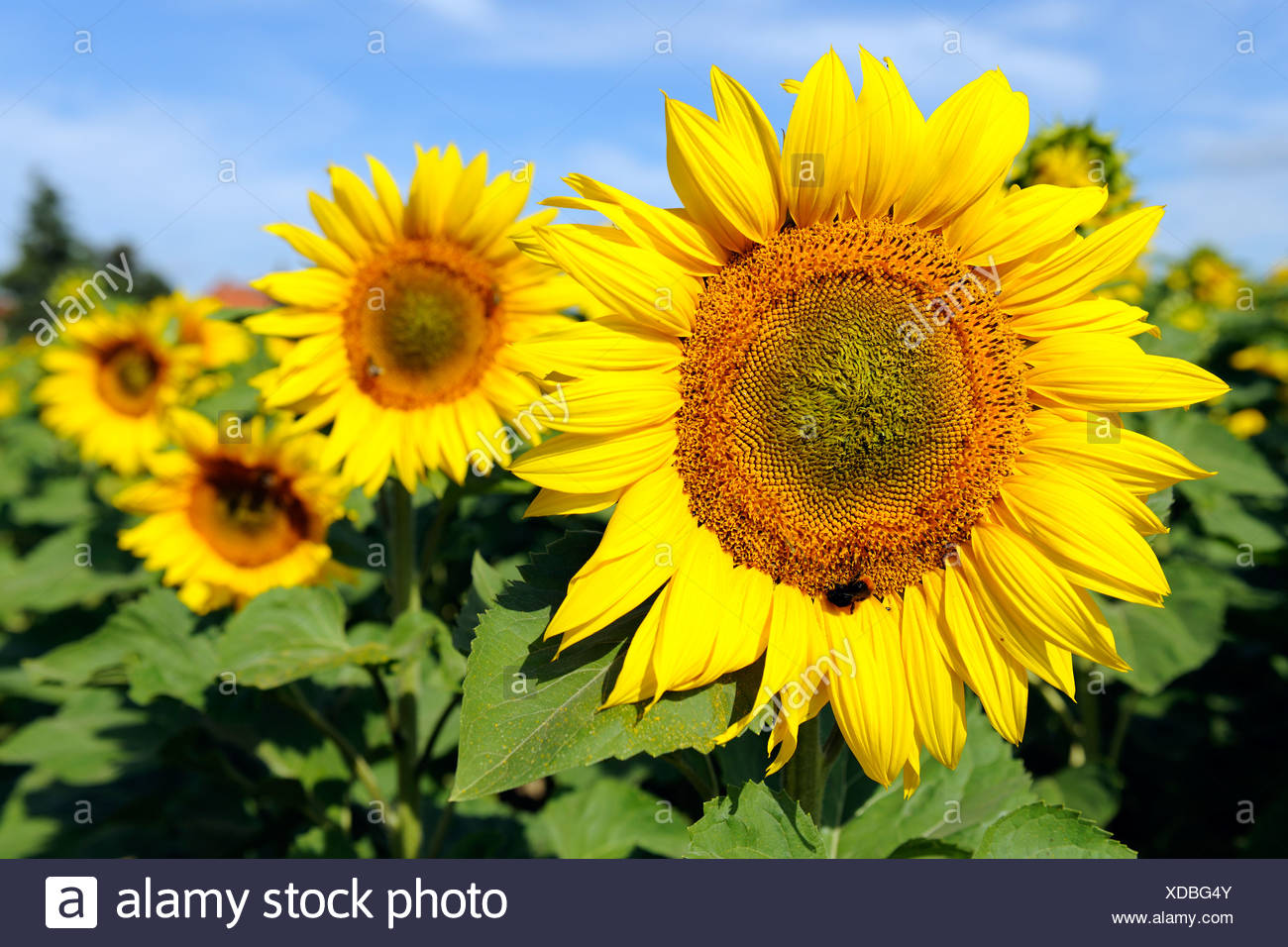 Sunflowers (Helianthus annuus) - Stock Image