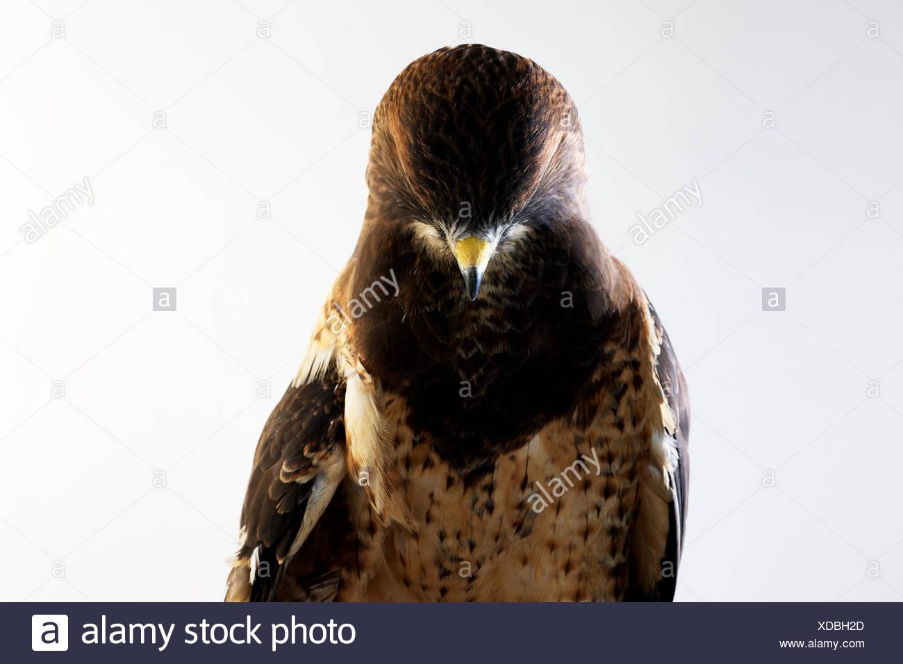 A studio portrait of a shy Swainson's Hawk (Buteo swainsoni). - Stock Image
