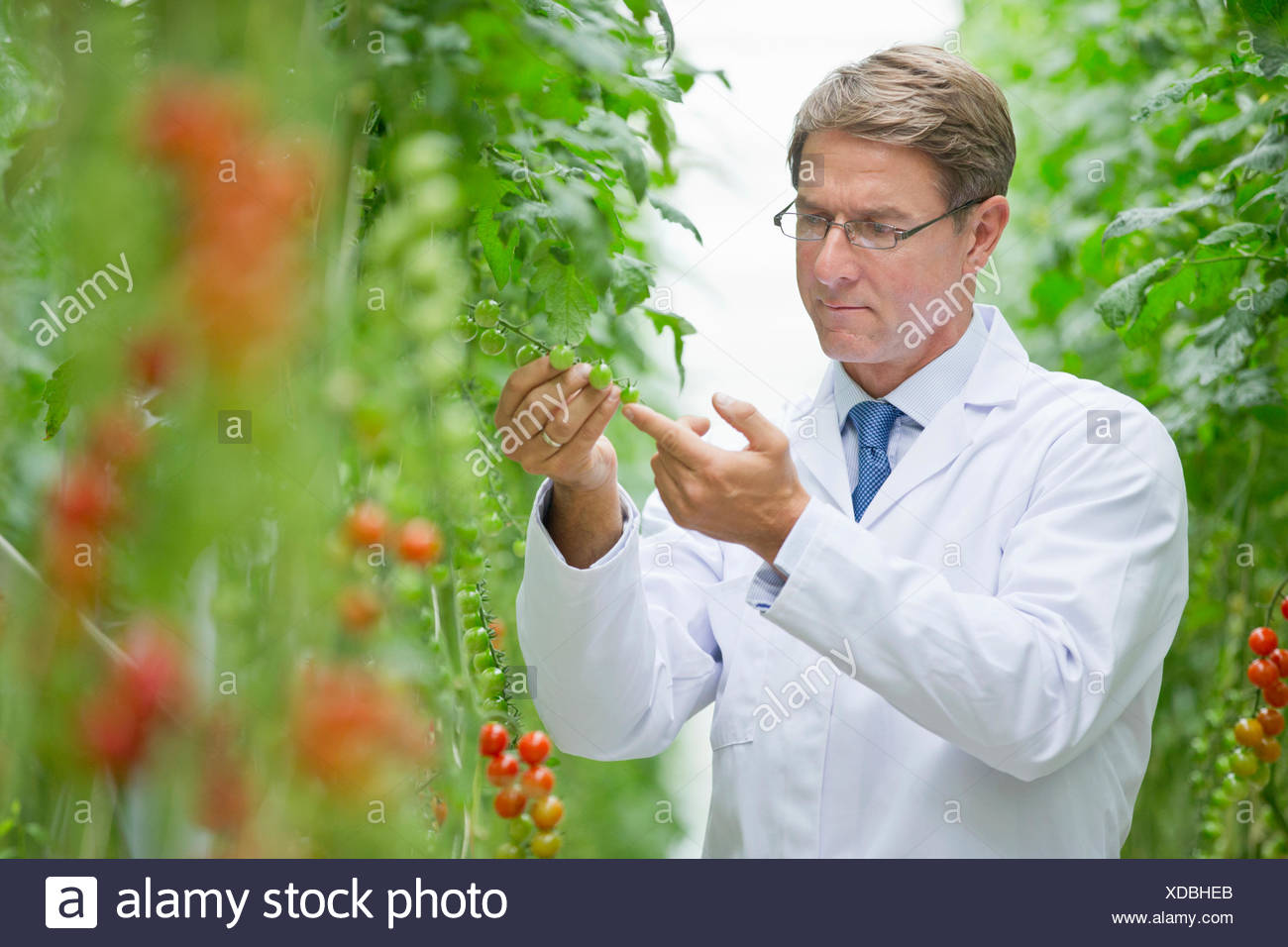 Focused food scientist examining vine tomato plants in greenhouse - Stock Image