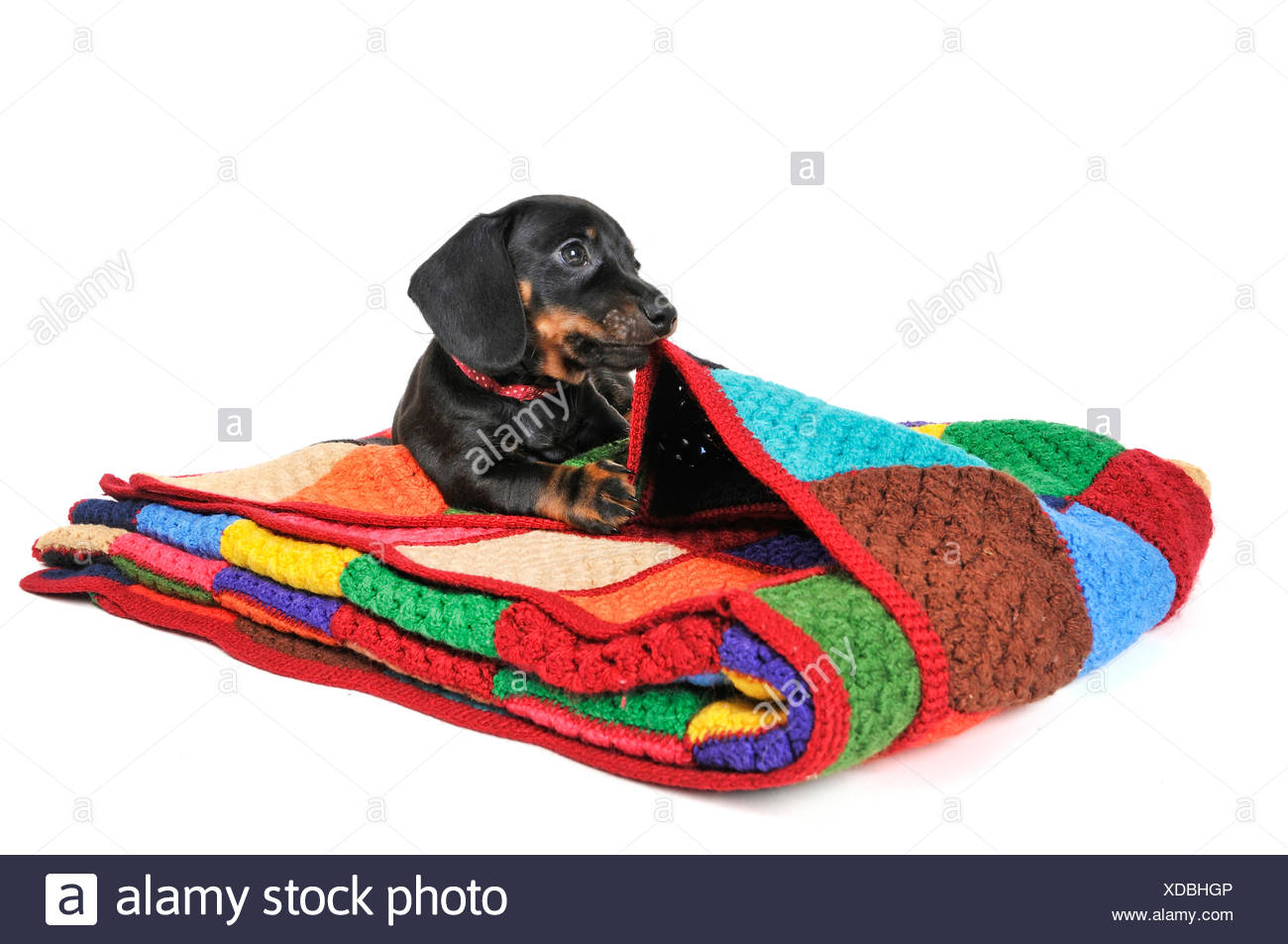 Short-haired Dachshund, Short-haired sausage dog, domestic dog (Canis lupus f. familiaris), dark-haired puppy lying on a coloured woolen blanket, cut-out Stock Photo
