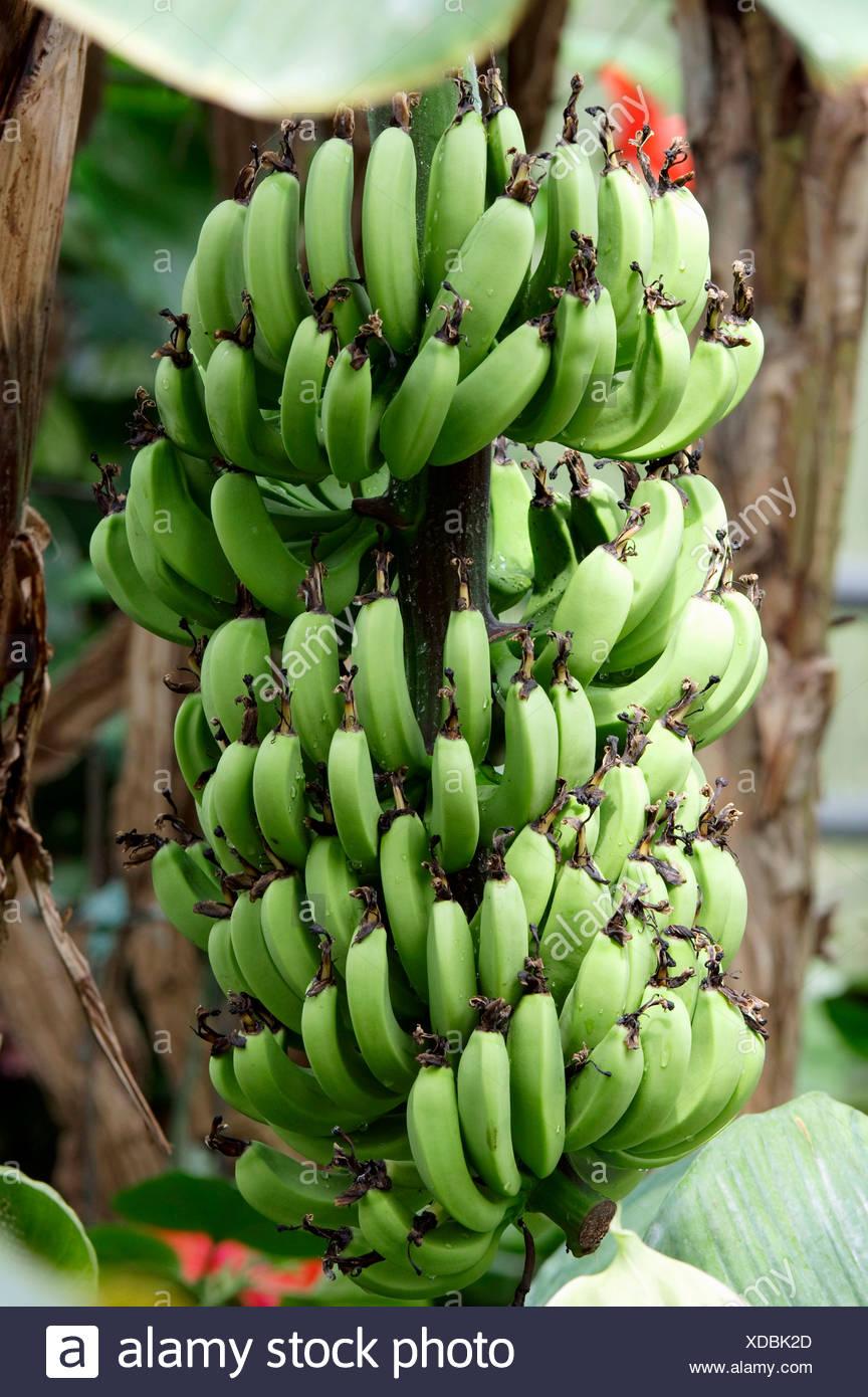 Bananas (Musa paradisiaca), bunch on a tree - Stock Image
