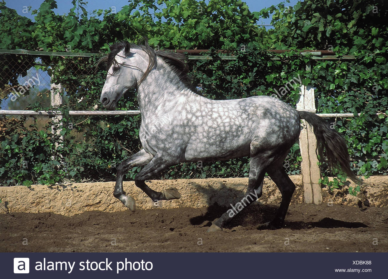 Belt, horse, Andalusian, gallop, animal, animals, horses, mammal, mammals, benefit animal, benefit animals, riding animal, riding animals, hoofed animal, hoofed animals, stallion, race, thoroughbred horse, horse's race, motion, force, starch, gallop - Stock Image