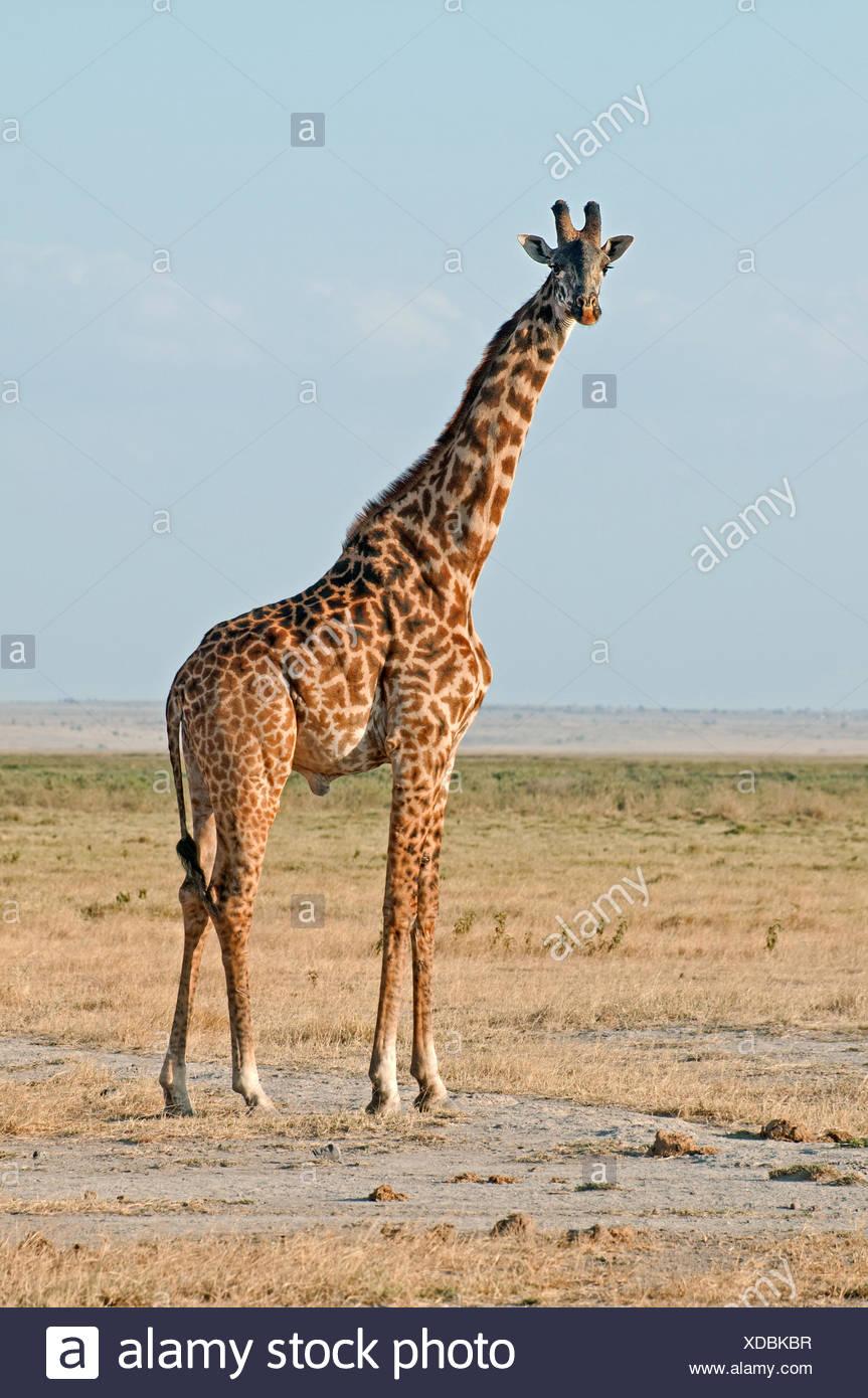 Male Common or Masai Giraffe in Amboseli National Park Kenya East Africa  MALE COMMON GIRAFFE AMBOSELI KENYA - Stock Image