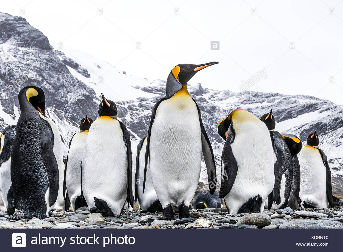 King penguins (Aptenodytes patagonicus) on a beach; South Georgia, South Georgia, South Georgia and the South Sandwich Islands, United Kingdom - Stock Image