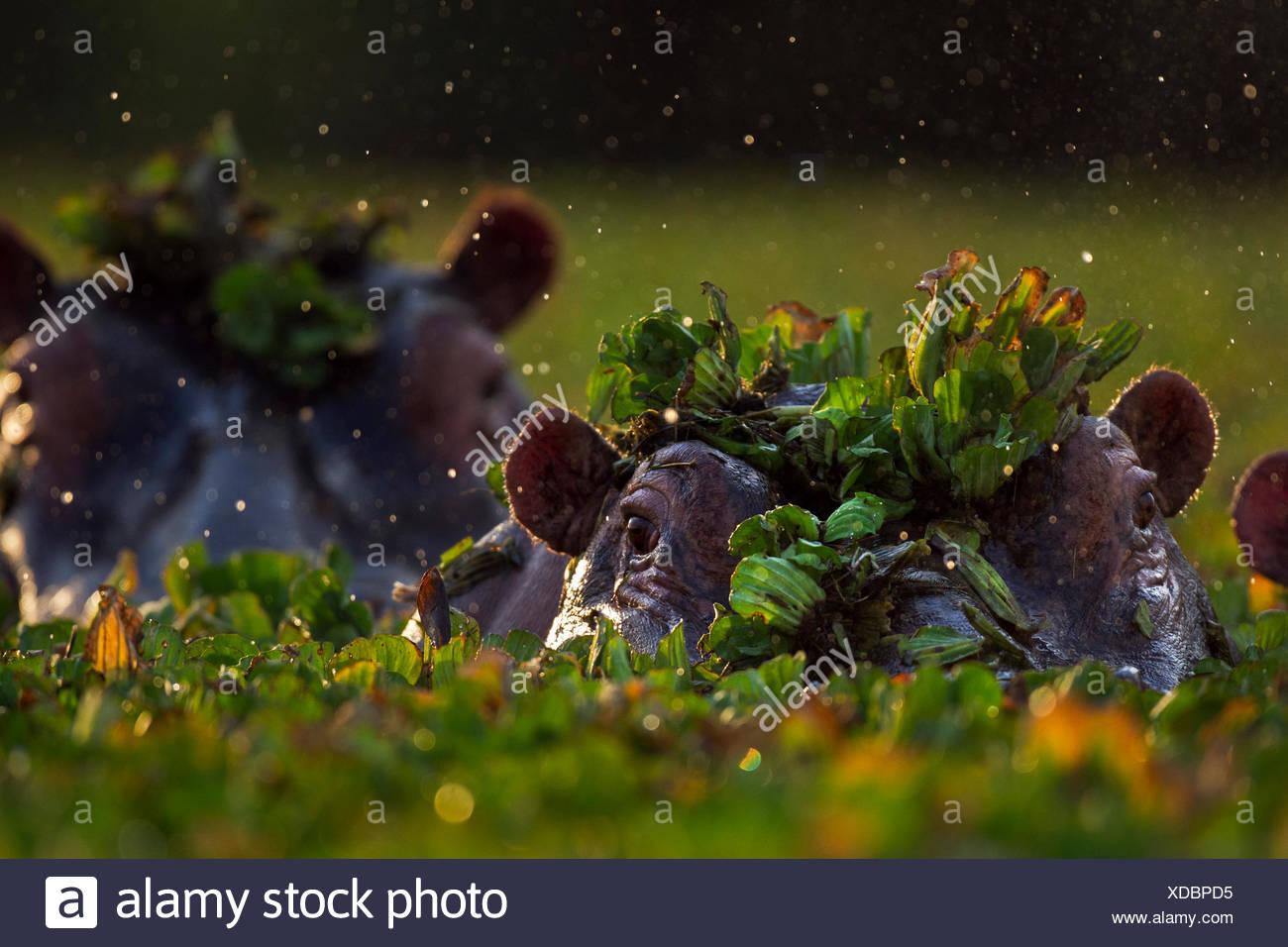 Hippopotamus (Hippopotamus amphibius) group submerged in water lettuce covered pool. Maasai Mara National Reserve, Kenya. Stock Photo