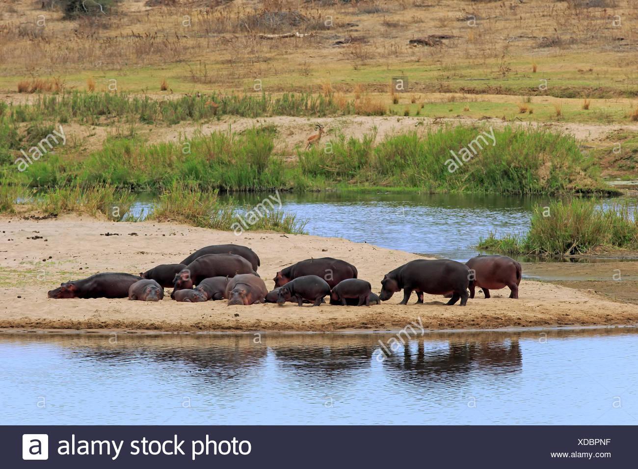 Hippopotamus, family resting on shore, Kruger Nationalpark, South Africa, Africa / (Hippopotamus amphibius) - Stock Image