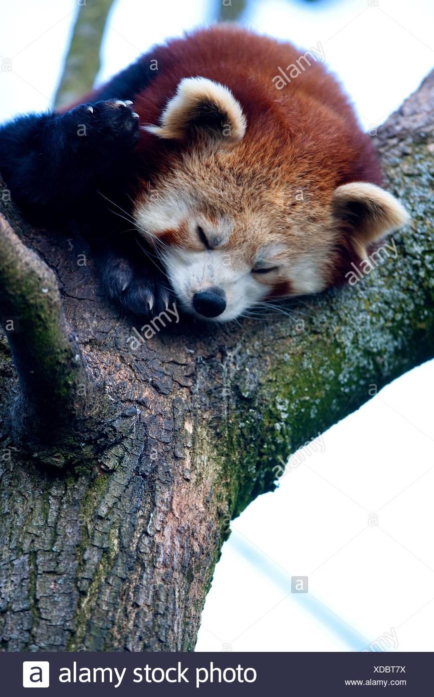 lesser red panda - Stock Image
