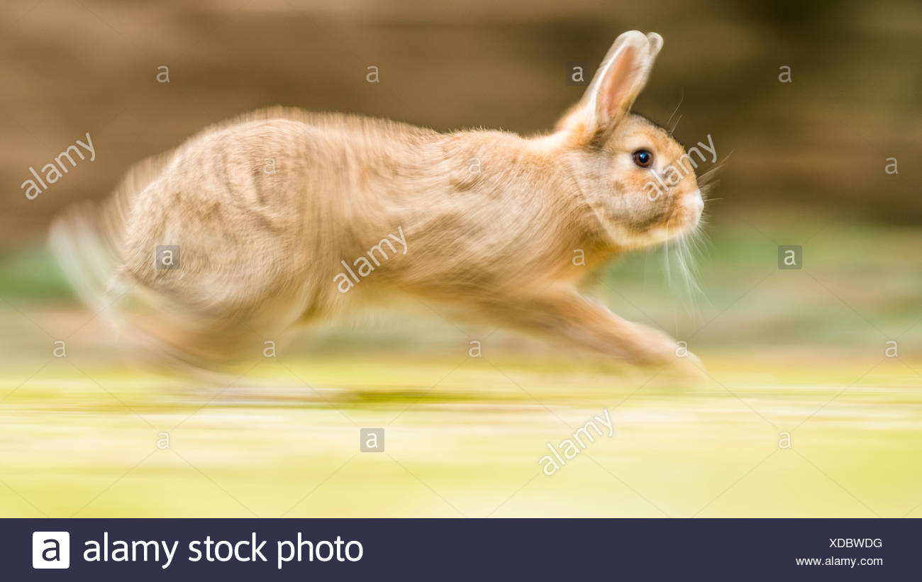 Wild rabbits (Oryctolagus cuniculus) sprints on a meadow, crossing with domestic rabbits (Oryctolagus cuniculus forma domestica) - Stock Image