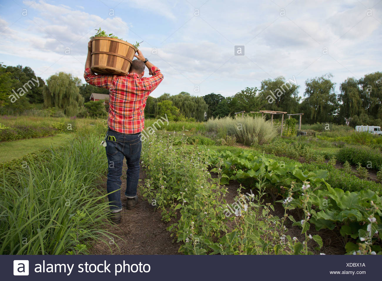 Mature man carrying basket of leaves on herb farm - Stock Image