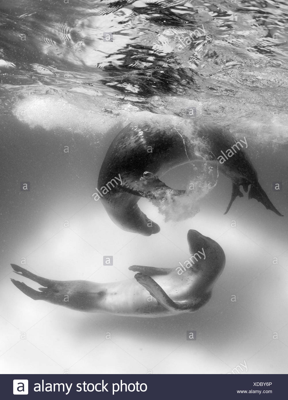 Leopard Seal - Stock Image