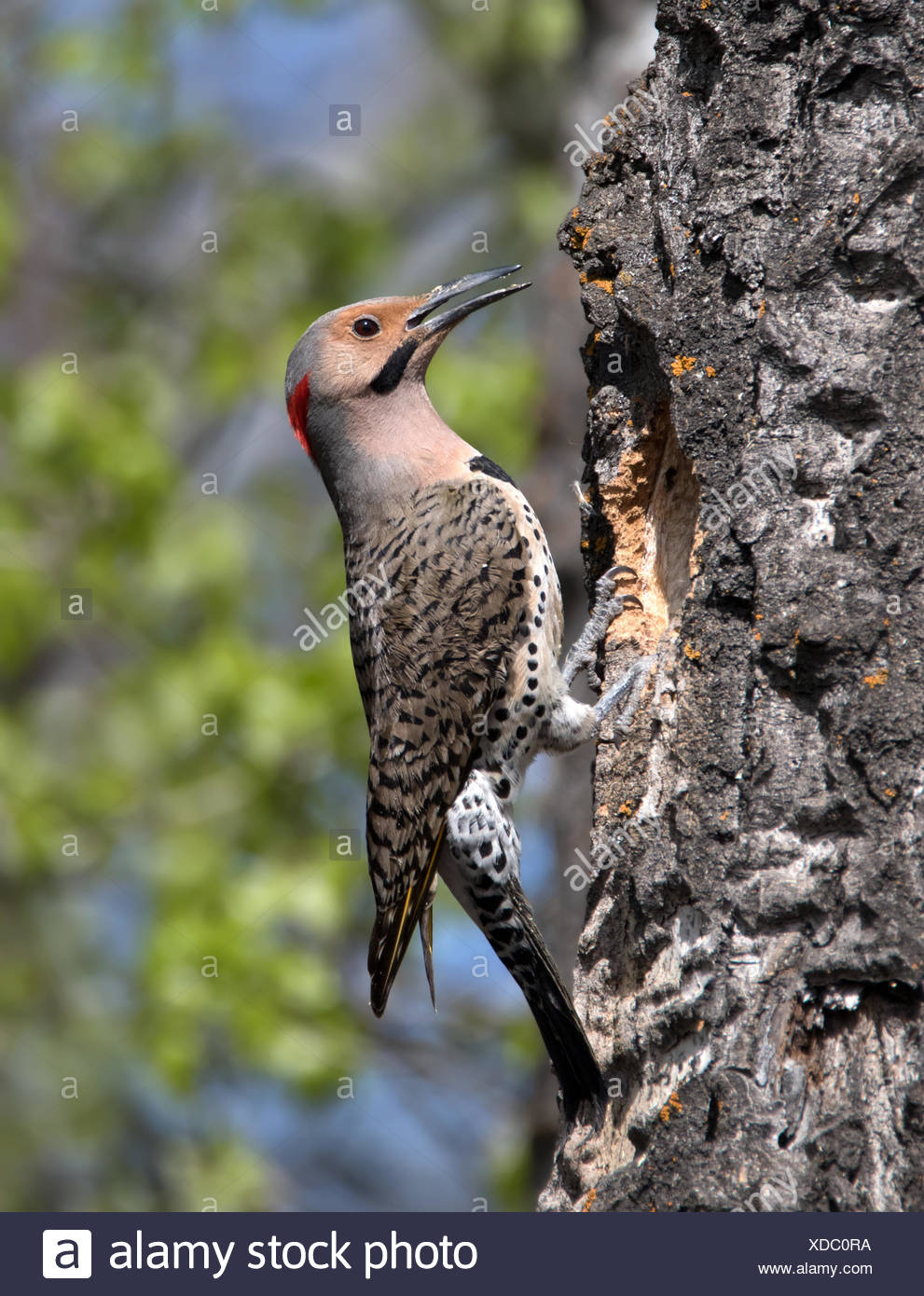 A male Yellow-shafted Northern Flicker, Colaptes auratus,  at a nest hole in Saskatoon, Saskatchewan, Canada - Stock Image