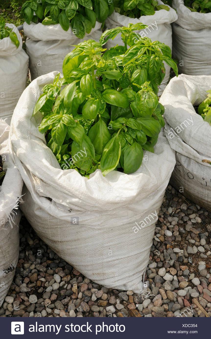 Basil in rice bags / (Ocimum basilicum) - Stock Image
