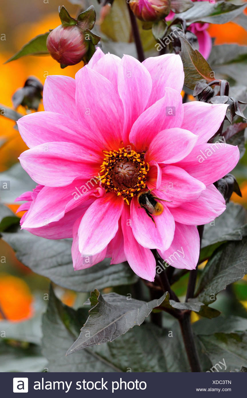 Dahlia (Dahlia), Fascination variety, North Rhine-Westphalia, Germany - Stock Image