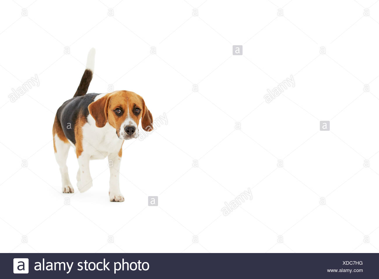 Studio Shot Of Beagle Dog Walking Against White Background - Stock Image