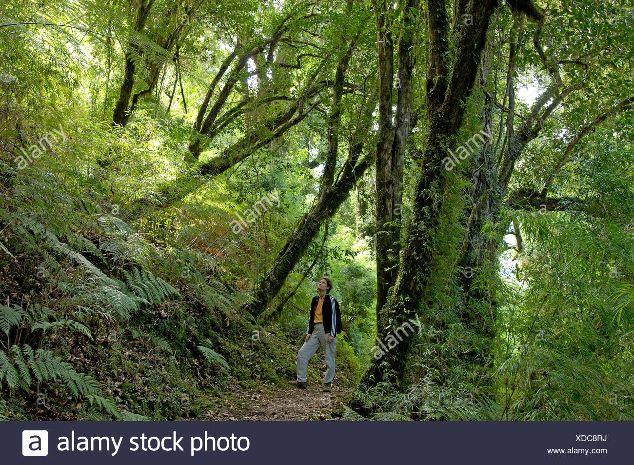 woman way wood forest excessively green walking hiking trekking Puyuhuapi Aisen Patagonia Chile - Stock Image
