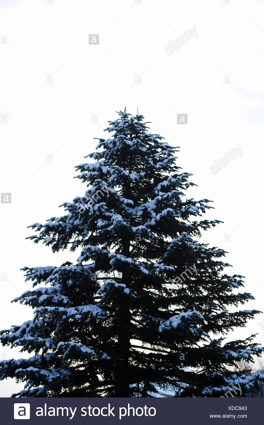 A snowy fir Sweden. - Stock Image