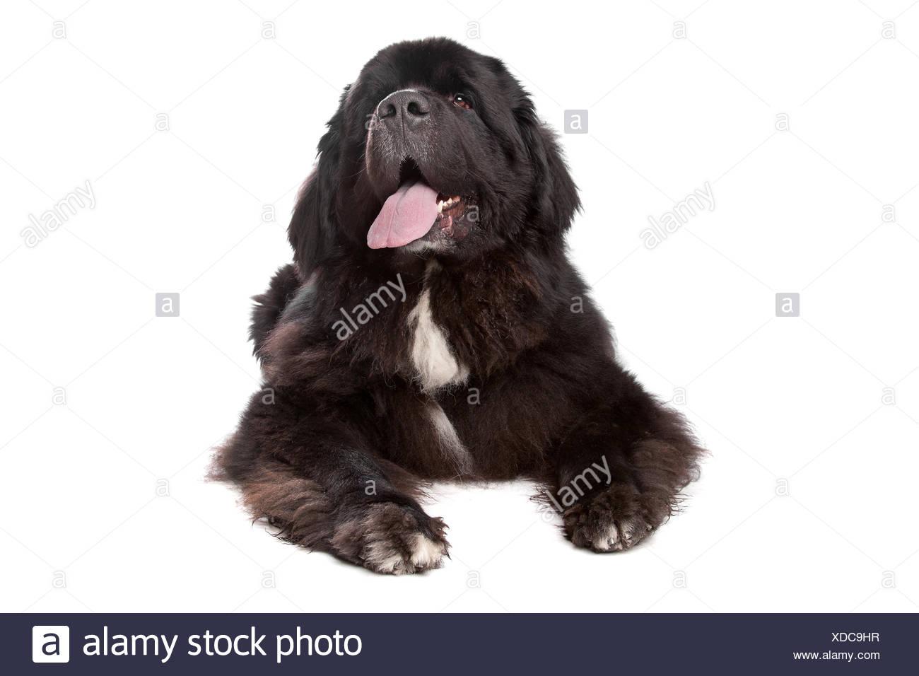 pets, isolated, animal, pet, mammal, bear, giant, over, dog, studio, one, cut, - Stock Image
