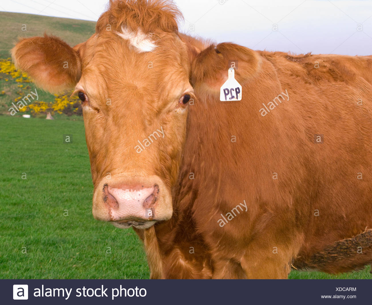 Close up of tagged cow standing in field Stock Photo