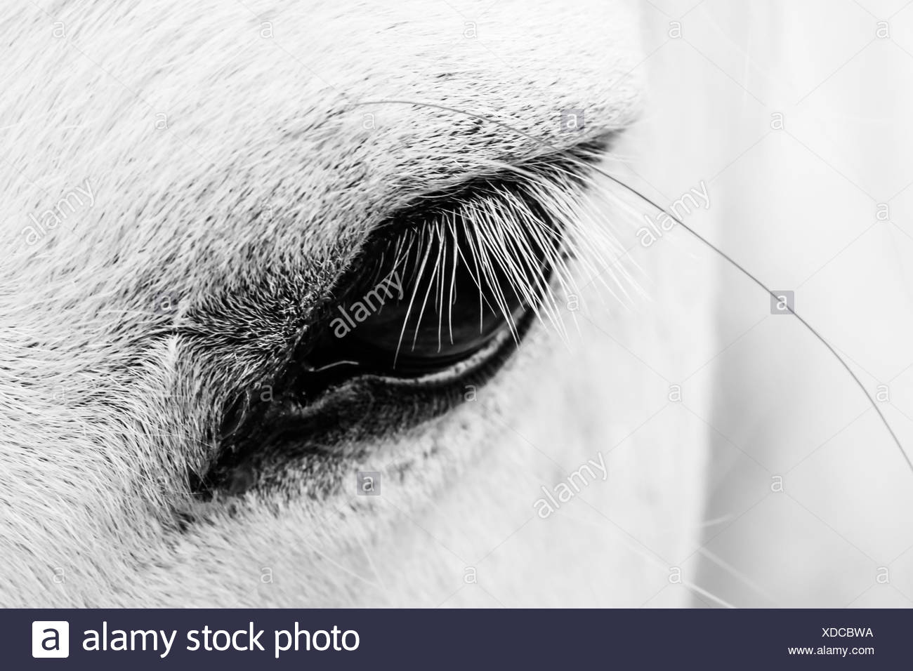 Detail of a white horse Stock Photo