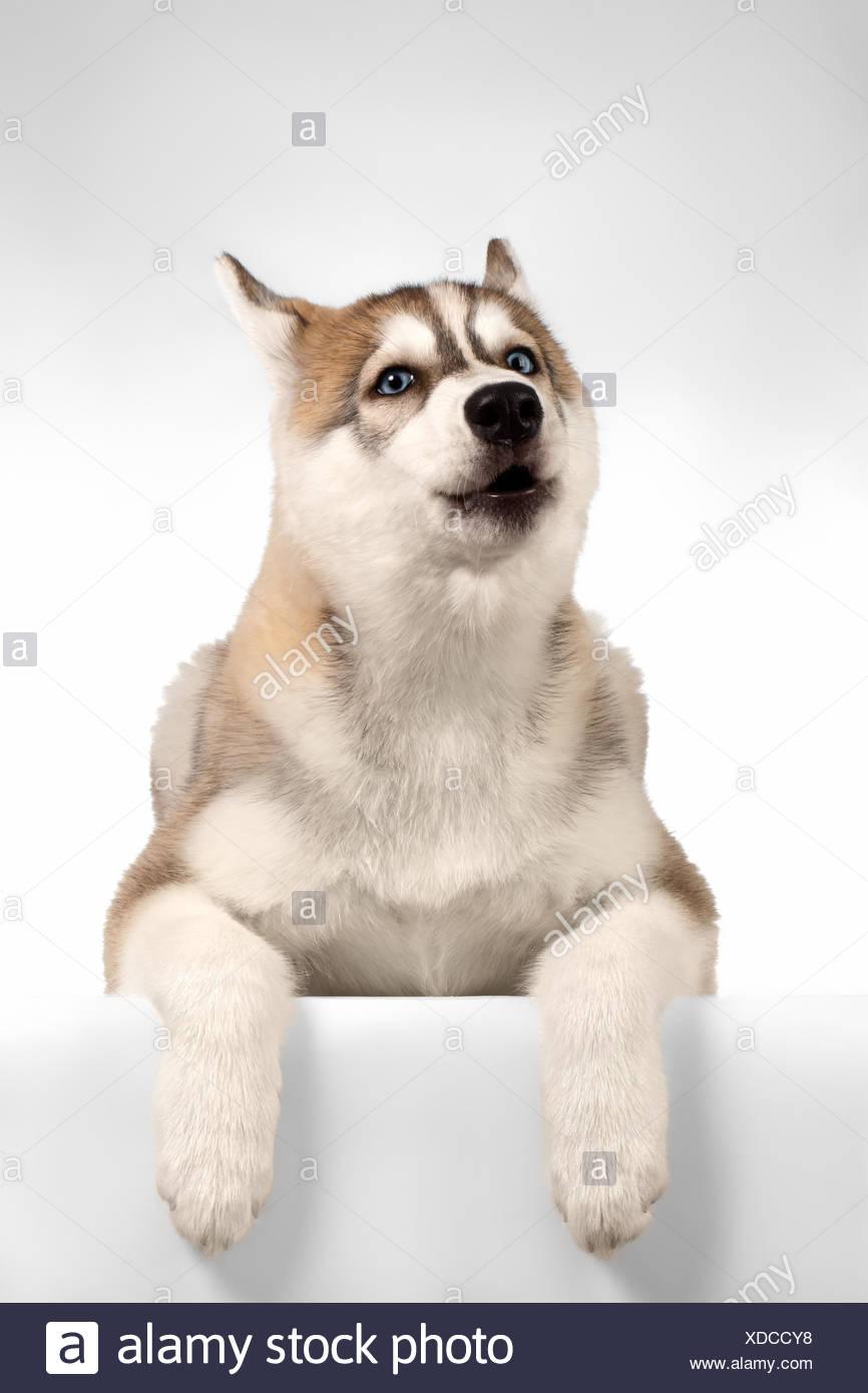 Siberian Husky puppy Howls - Stock Image