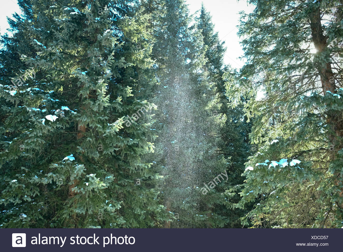 Sprinkle of snow in green forest - Stock Image