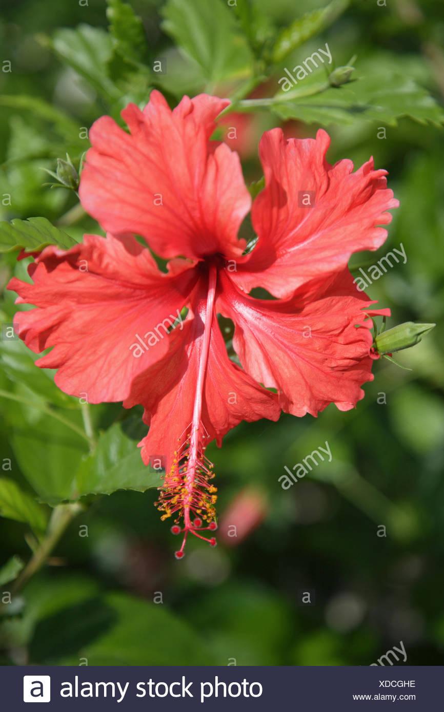 Hibiscus Flowerclose Up Mayan Rivierayucatan Peninsularquintana