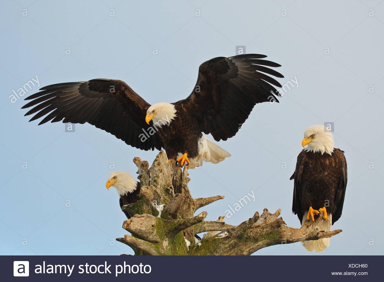three Bald eagles / Haliaeetus leucocephalus - Stock Image