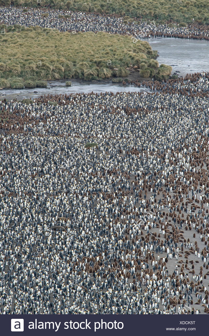 Aerial view of the king penguin colony at Gold Harbor. - Stock Image