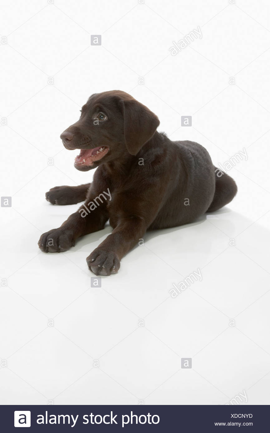 Chocolate labrador puppy, laying with paws stretched out, mouth open - Stock Image