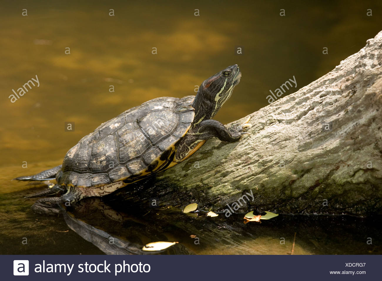 Closeup of an unidentified turtle swimming to a log. - Stock Image