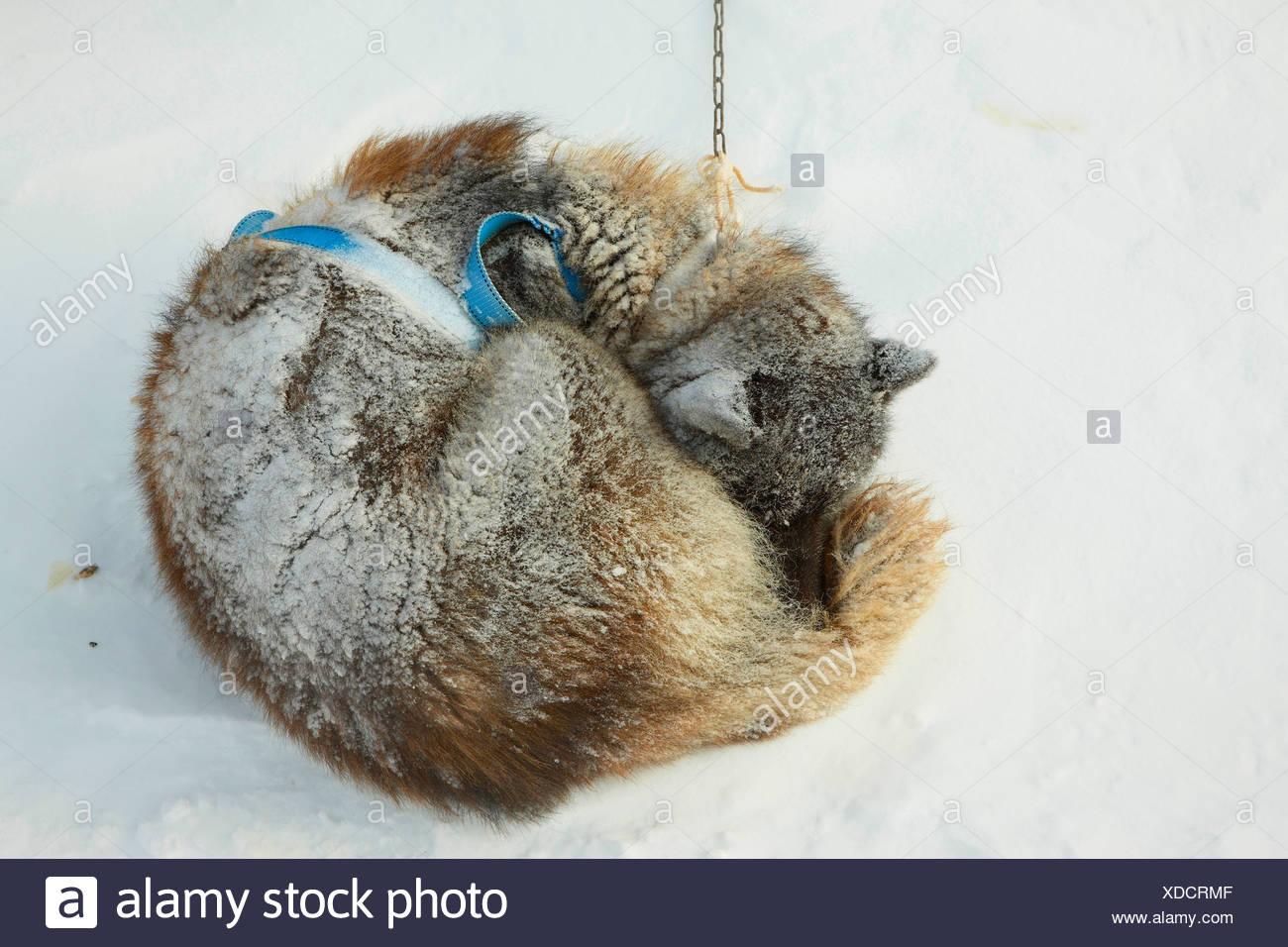 Greenland Dog (Canis lupus f. familiaris), coiled up in snow storm, Greenland, Ostgroenland, Tunu, Kalaallit Nunaat, Liverpool Land, Kap Hoegh Stock Photo