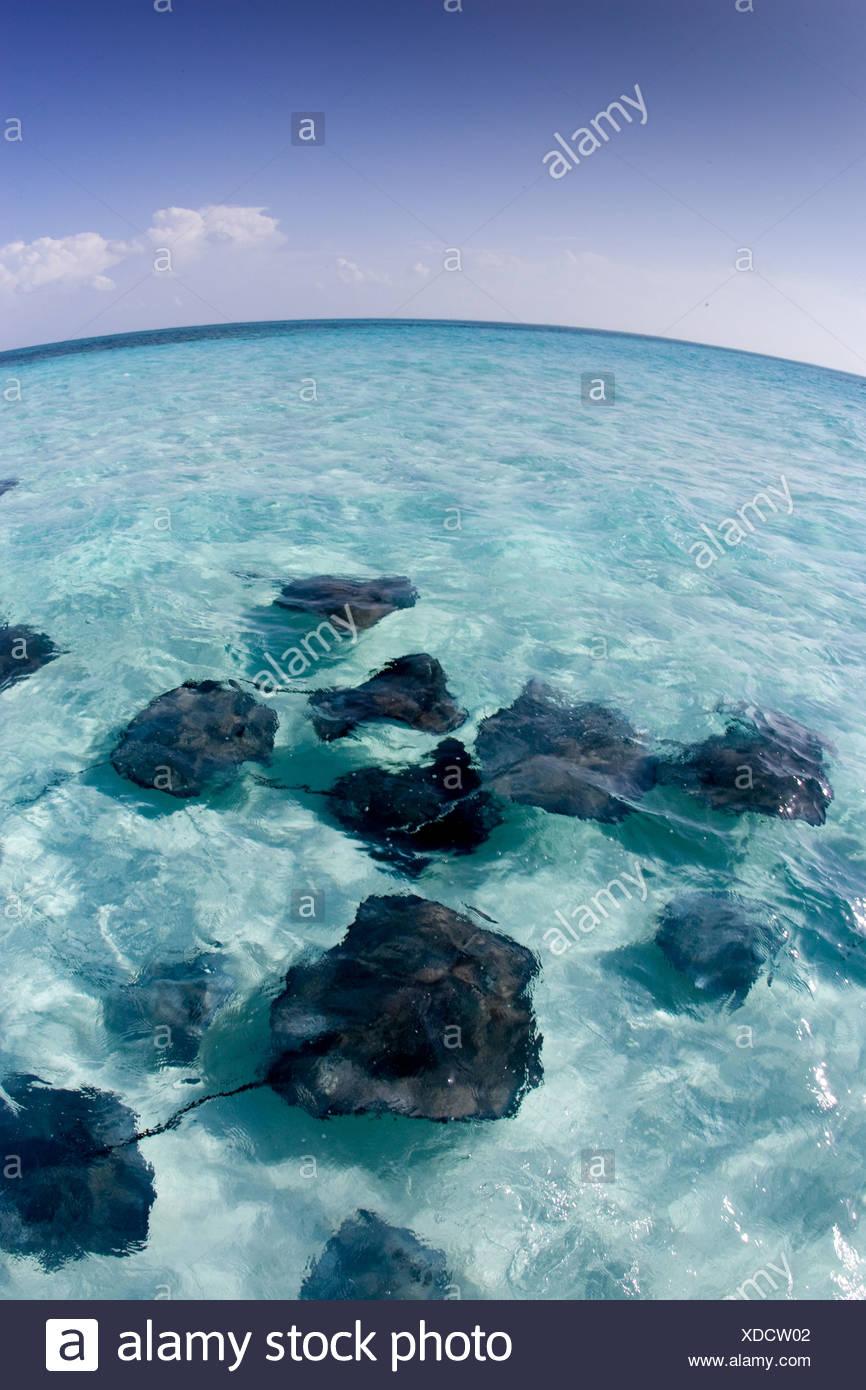 Stingrays, Grand Cayman. - Stock Image