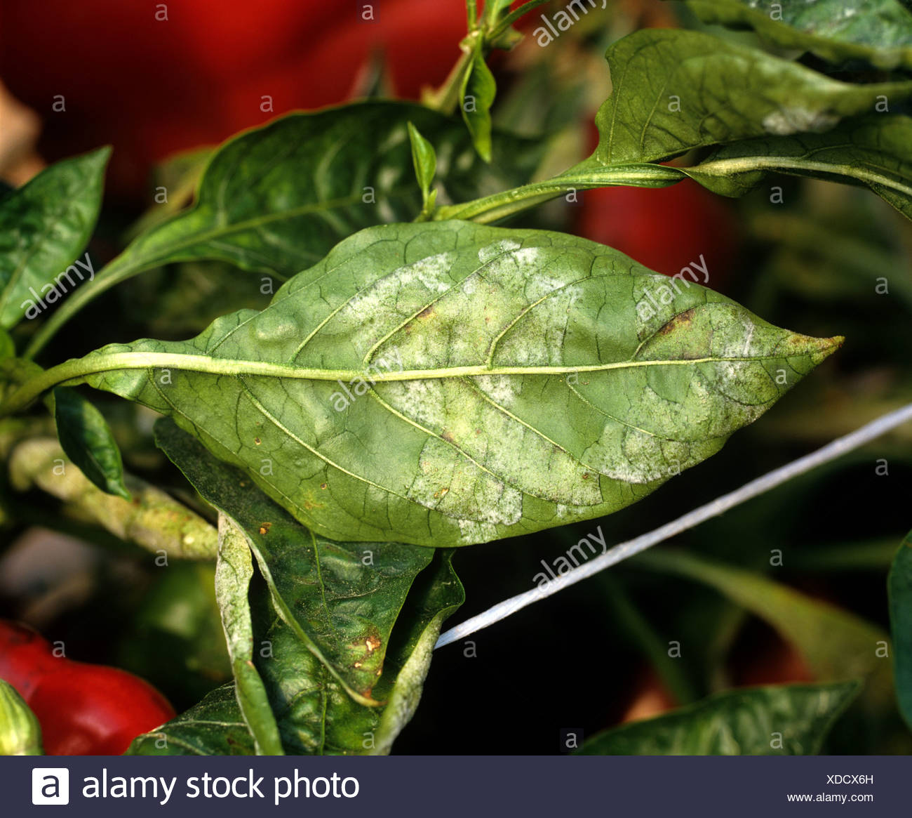 Powdery mildew Leveillula taurica infection on sweet pepper leaf Portugal - Stock Image