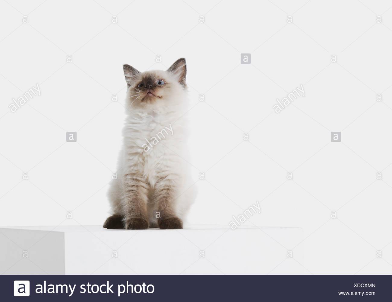 Sitting Ragdoll Cat Stock Photos & Sitting Ragdoll Cat Stock