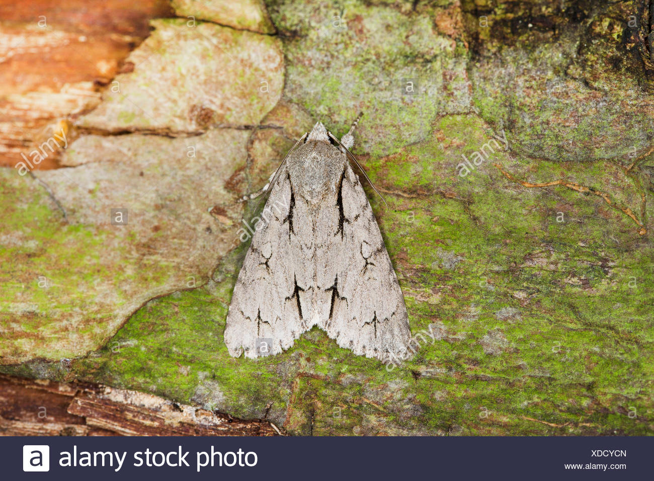 Grey dagger, Grey dagger moth (Acronicta psi), on bark, Germany - Stock Image