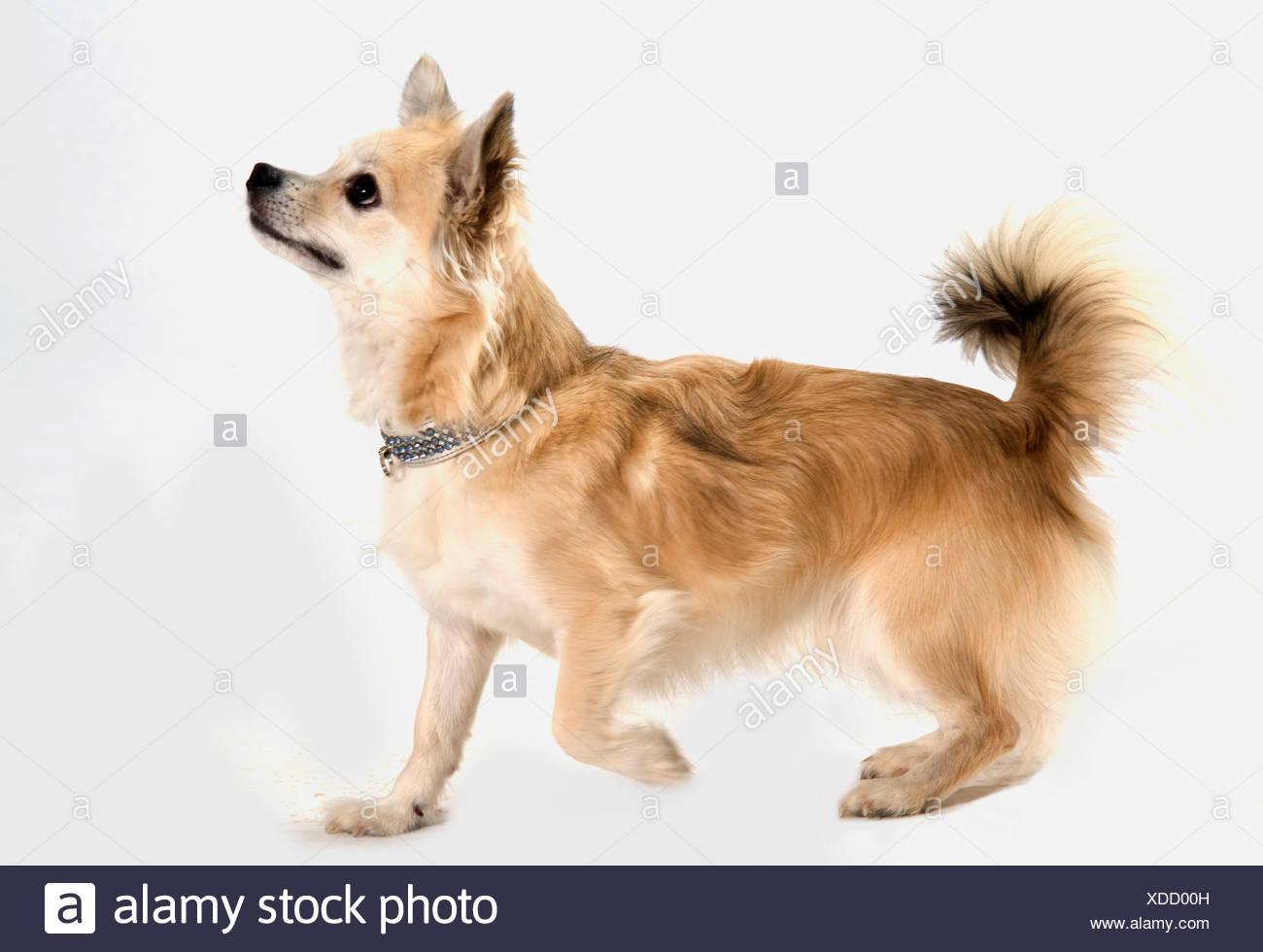 Chihuahua Dog UK - Stock Image