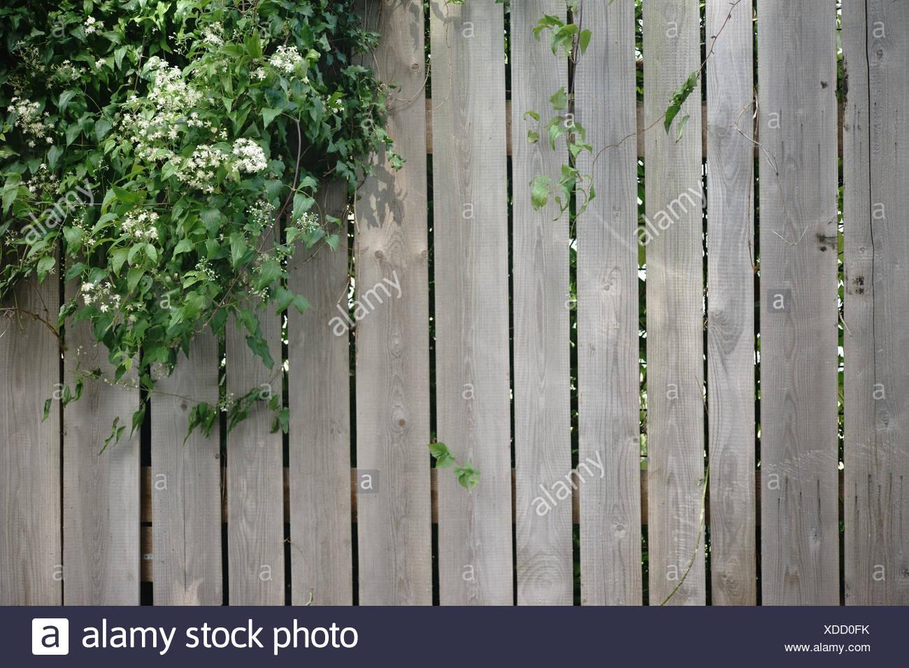 Eine Efeupflanze wächst über einen Holzbretterzaun. Stock Photo