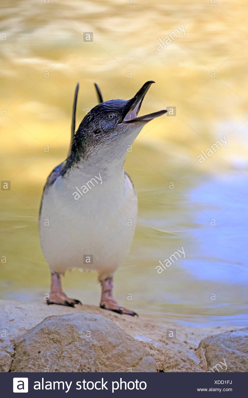 Little penguin (Eudyptula minor), adult, calling, beating with wings, Kangaroo Island, South Australia, Australia - Stock Image