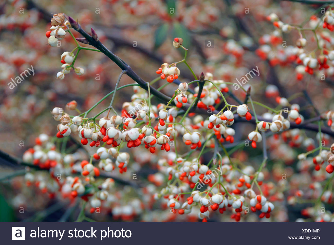 climbing euonymus, wintercreeper euonymus, winter-creeper (Euonymus fortunei 'Vegetus', Euonymus fortunei Vegetus), cultivar Vegetus, fruiting, Germany, Saxony - Stock Image