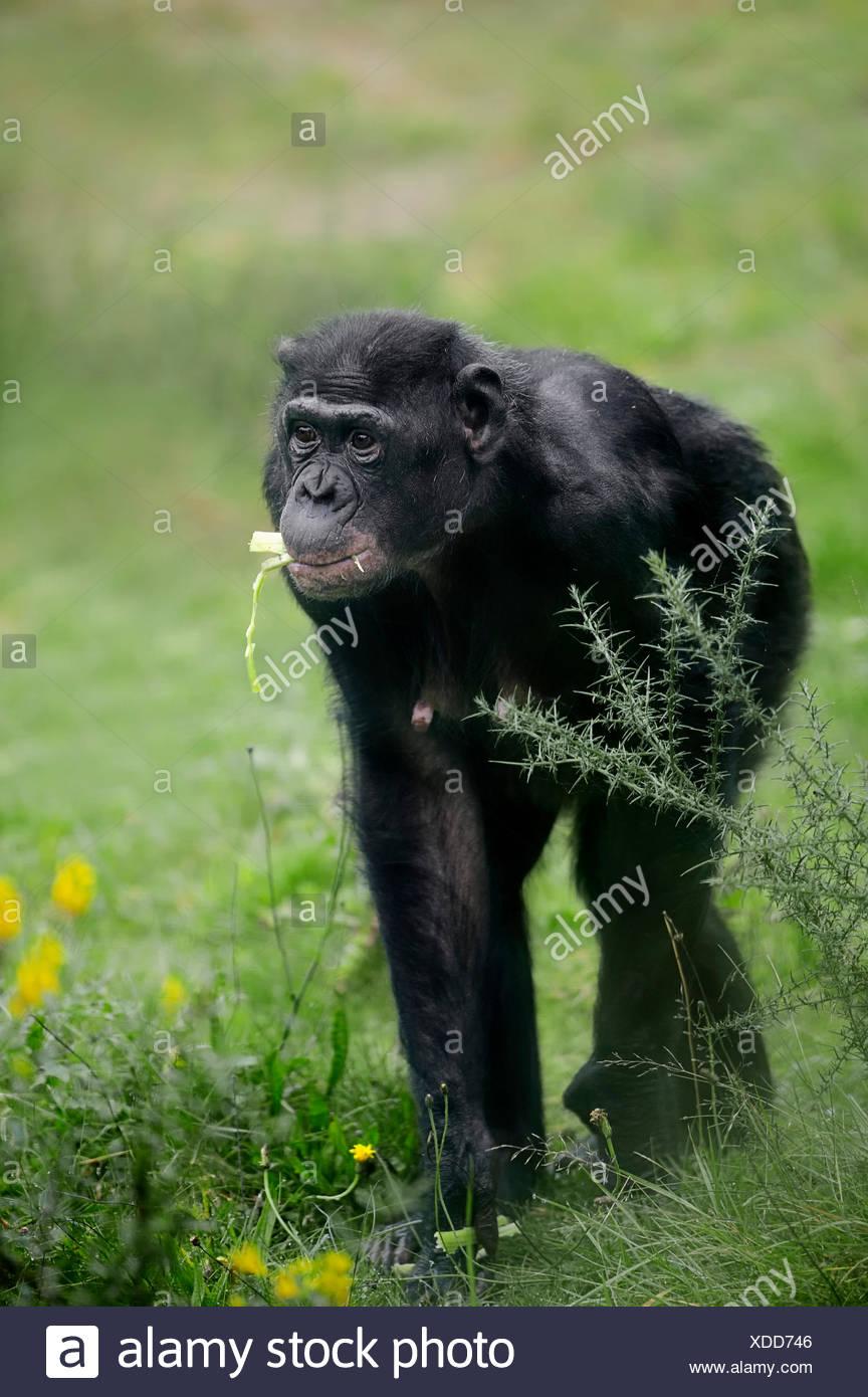 Bonobo (Pan paniscus), native to Africa, captive, Germany - Stock Image