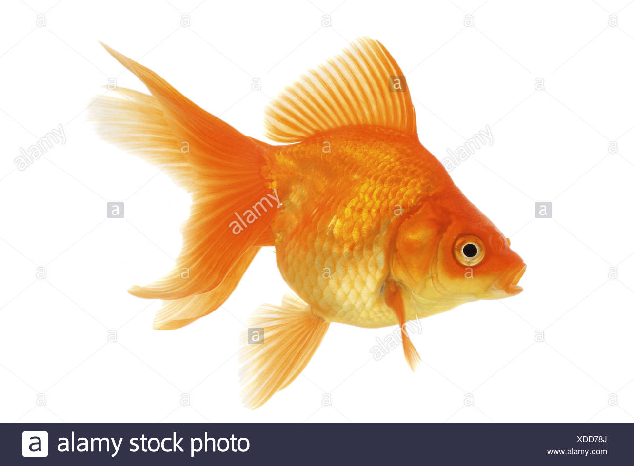 goldfish, common carp, fantail (Carassius auratus auratus) Stock Photo